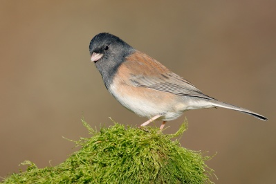 9106_Dark-eyed_-Oregon-_Junco